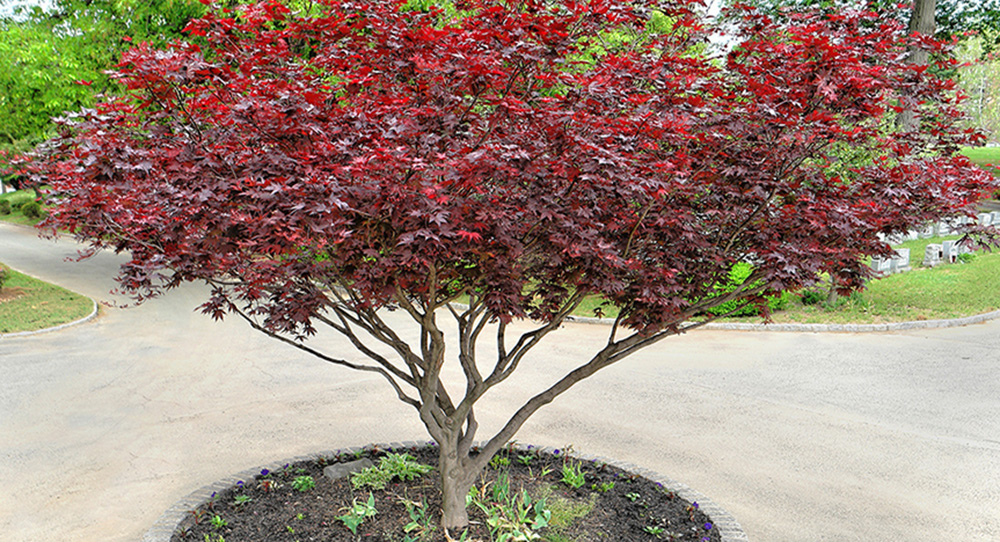 MGC-Red Maple.jpg